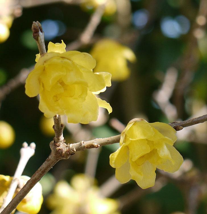 12月だがロウバイ(蝋梅)の花がたくさん咲いている。2016年-3.jpg