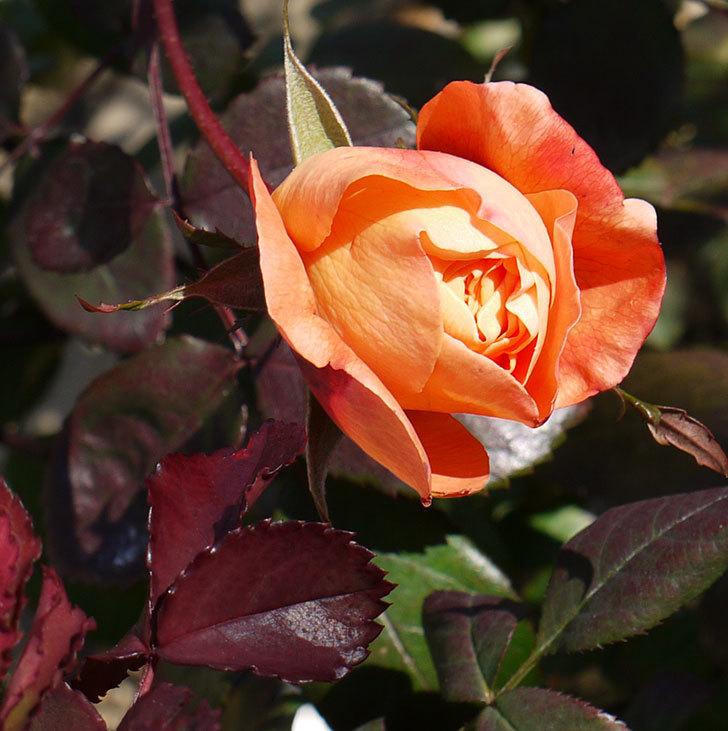 1個だけ蕾を残しておいたレディ・エマ・ハミルトン(木立バラ)が咲いた。2017年-1.jpg