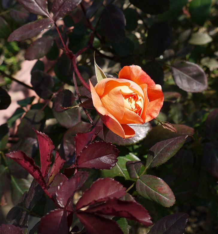 1個だけ蕾を残しておいたレディ・エマ・ハミルトン(木立バラ)が咲いた。2017年-3.jpg