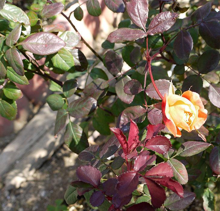 1個だけ蕾を残しておいたレディ・エマ・ハミルトン(木立バラ)が咲いた。2017年-4.jpg