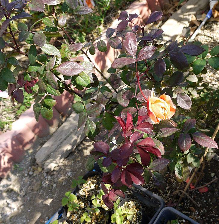 1個だけ蕾を残しておいたレディ・エマ・ハミルトン(木立バラ)が咲いた。2017年-5.jpg
