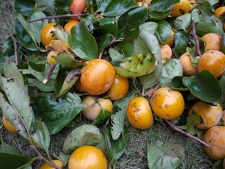 1回目の柿の収穫をした。2015年-1.jpg