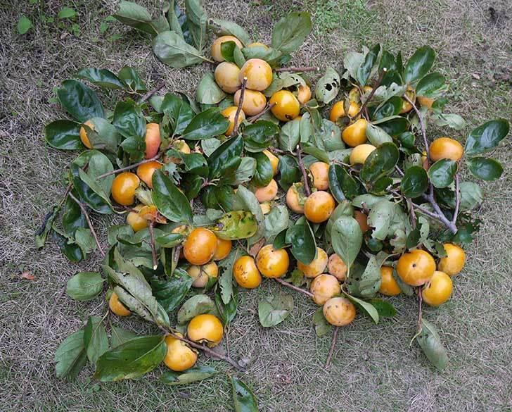 1回目の柿の収穫をした。2015年-2.jpg