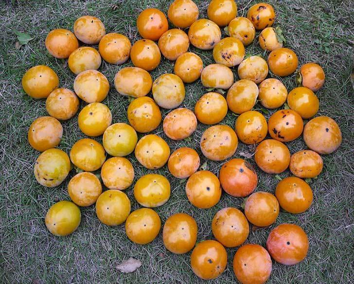 1回目の柿の収穫をした。2015年-3.jpg