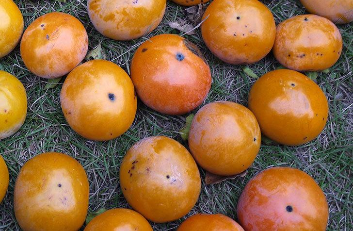 1回目の柿の収穫をした。2015年-4.jpg