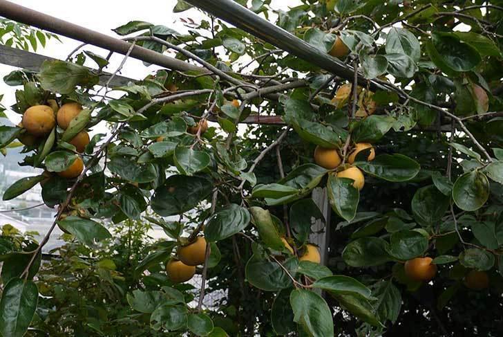 1回目の柿の収穫をした。2015年-6.jpg