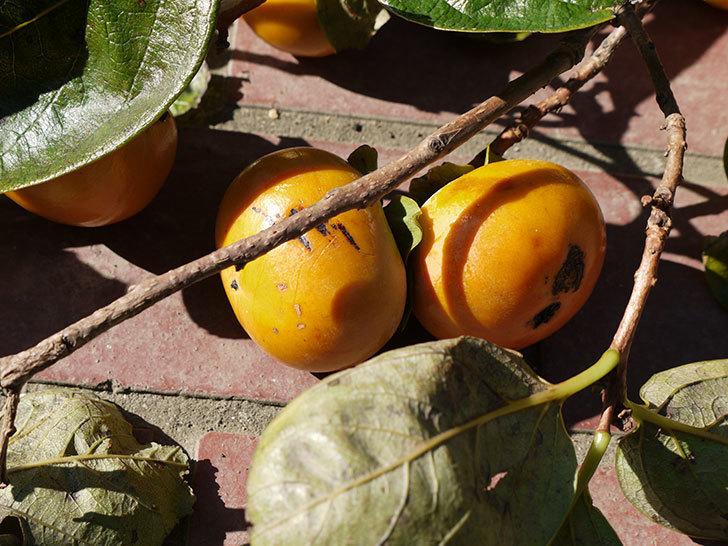 1回目の柿の収穫をした。2016年-1.jpg