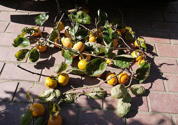 1回目の柿の収穫をした。2016年-2.jpg