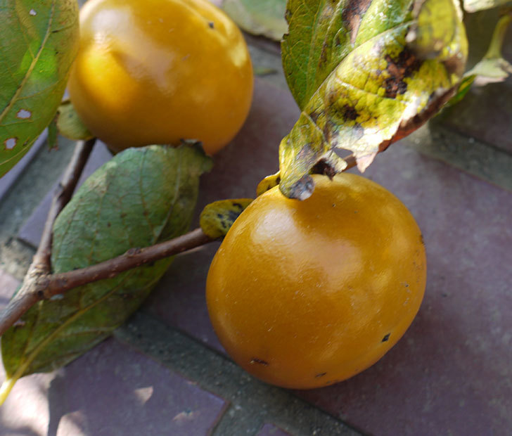 1回目の柿の収穫をした。2016年-3.jpg