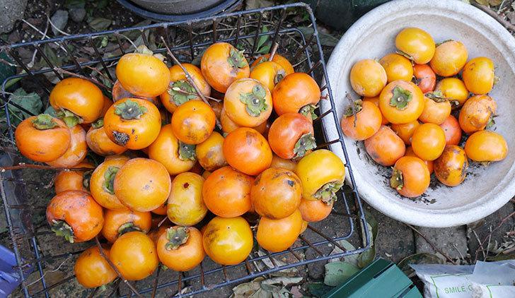 1回目の柿の収穫をした。2017年-6.jpg