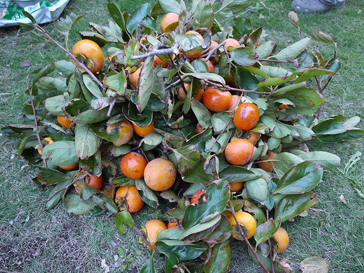 2回目の柿の収穫した。2014-1.jpg