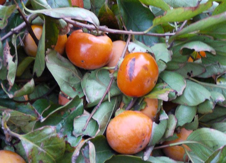 2回目の柿の収穫した。2014-2.jpg
