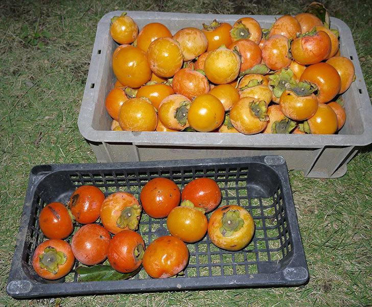 2回目の柿の収穫した。2014-3.jpg