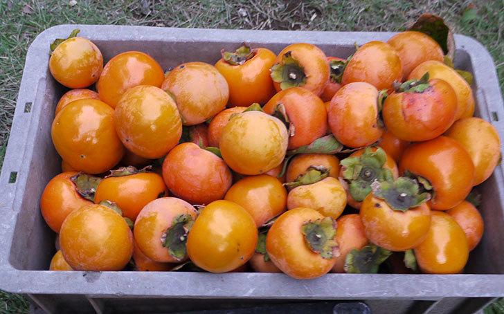 2回目の柿の収穫した。2014-4.jpg