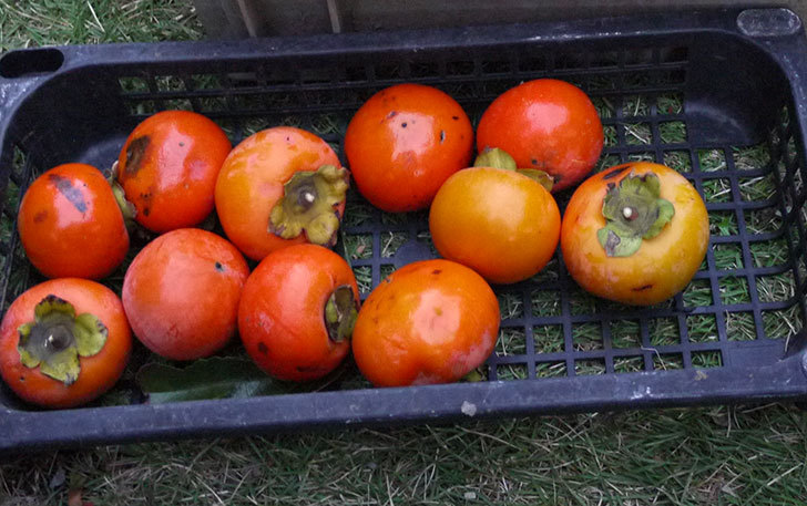 2回目の柿の収穫した。2014-5.jpg
