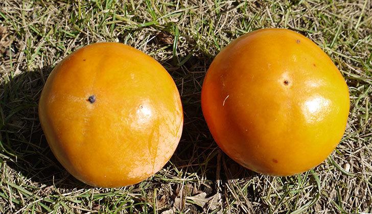 2回目の柿の収穫をした。2015年-1.jpg