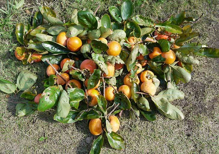 2回目の柿の収穫をした。2015年-3.jpg