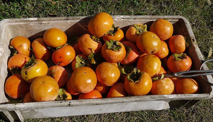 2回目の柿の収穫をした。2015年-4.jpg