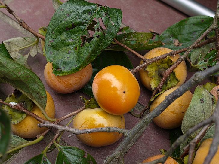 2回目の柿の収穫をした。2016年-1.jpg