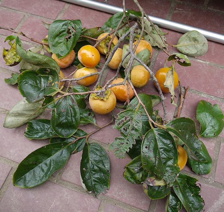 2回目の柿の収穫をした。2016年-3.jpg