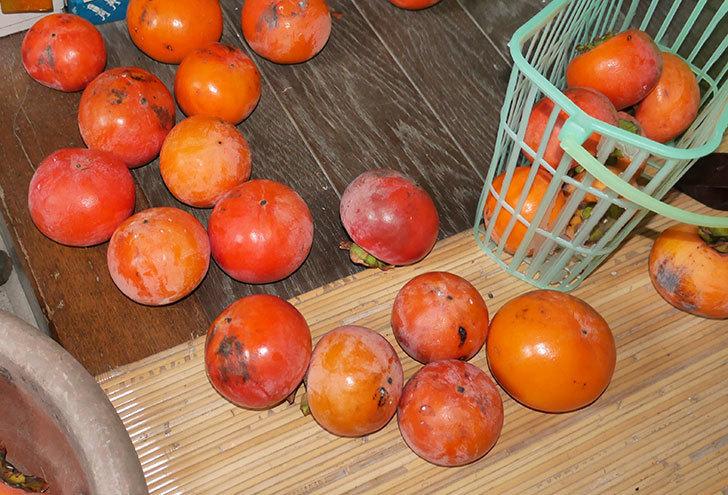 2回目の柿の収穫をした。2017年-2.jpg