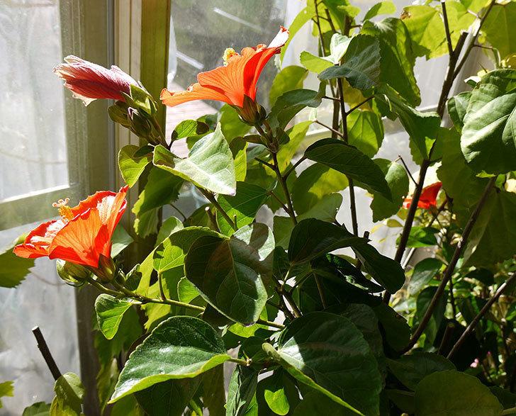 2月だけどハイビスカス-ニューロングライフ・シリーズ-Newアポロの花が3個咲いた。2017年-5.jpg