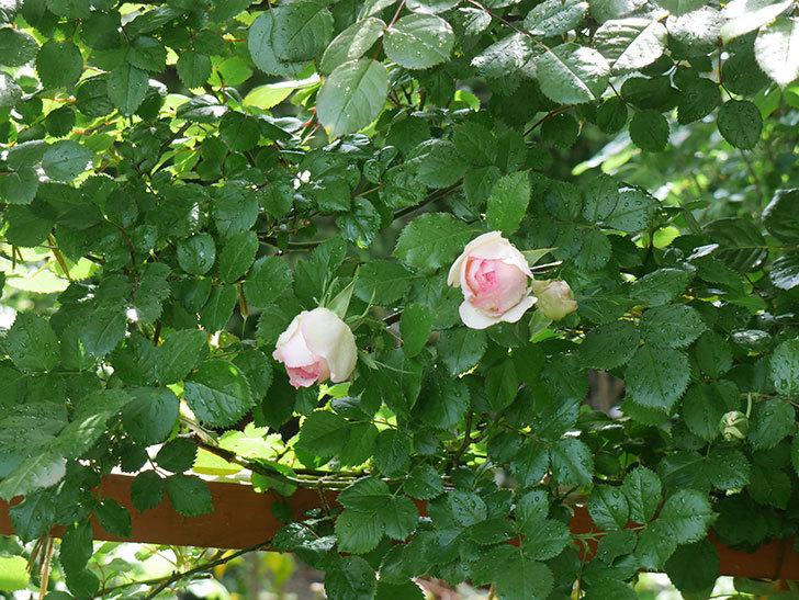 2本目のピエール・ドゥ・ロンサール(ツルバラ)も咲きだした。2018年-3.jpg