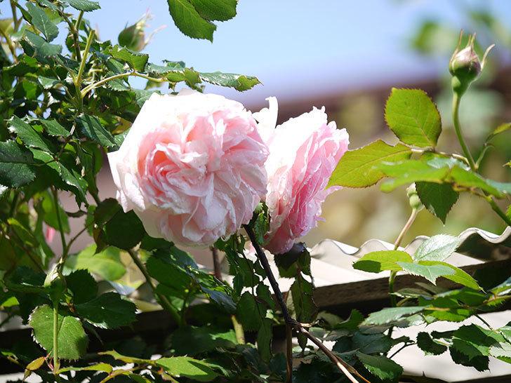 2本目のピエール・ドゥ・ロンサール(ツルバラ)も咲きだした。2018年-4.jpg