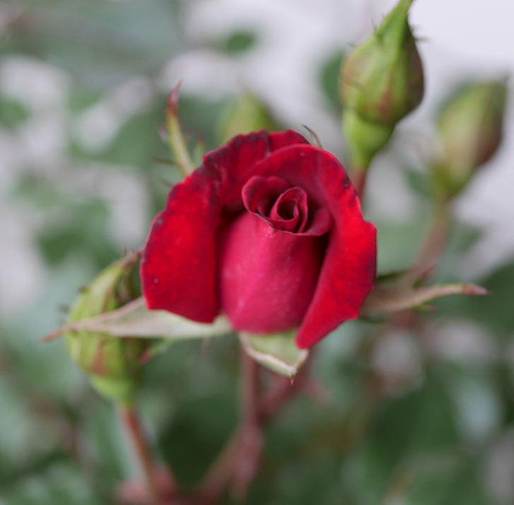 2株目のカリエンテ(ミニバラ)の花が咲きだした。2019年-1.jpg