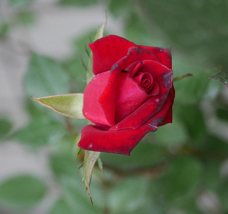 2株目のカリエンテ(ミニバラ)の花が咲きだした。2019年-4.jpg