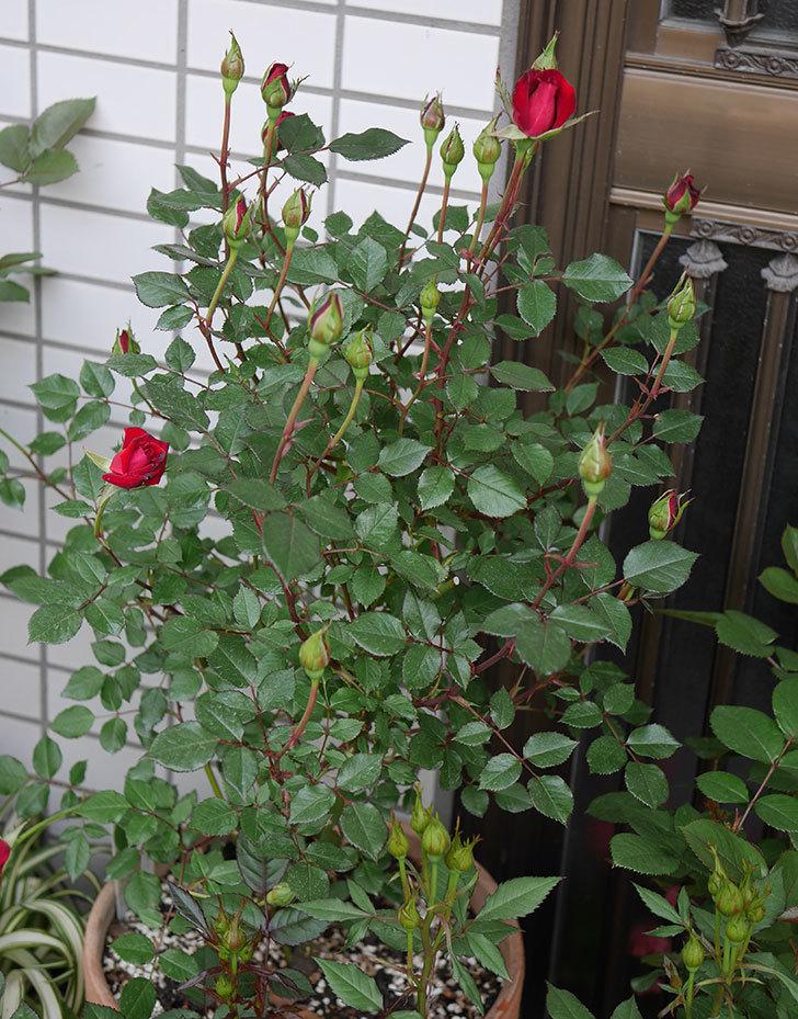 2株目のカリエンテ(ミニバラ)の花が咲きだした。2019年-6.jpg