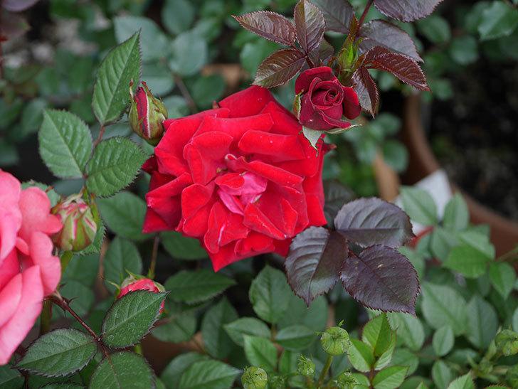 2株目のカリエンテ(ミニバラ)の花が咲きだした。2019年-7.jpg