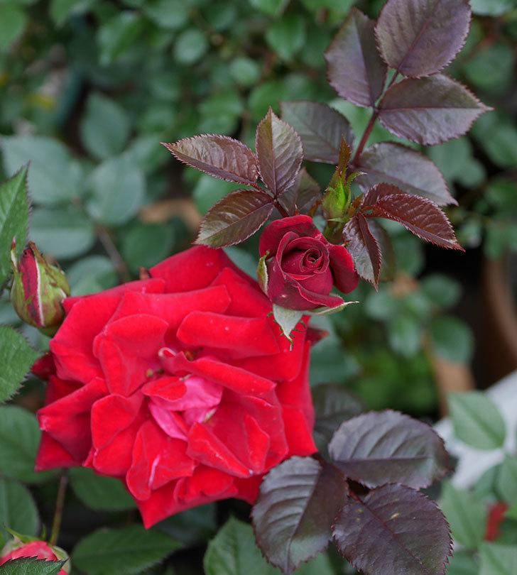 2株目のカリエンテ(ミニバラ)の花が咲きだした。2019年-9.jpg