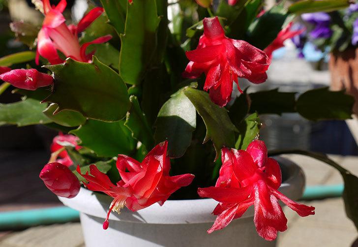 2鉢目のシャコバサボテン(蝦蛄葉サボテン)が更に咲いた2.jpg