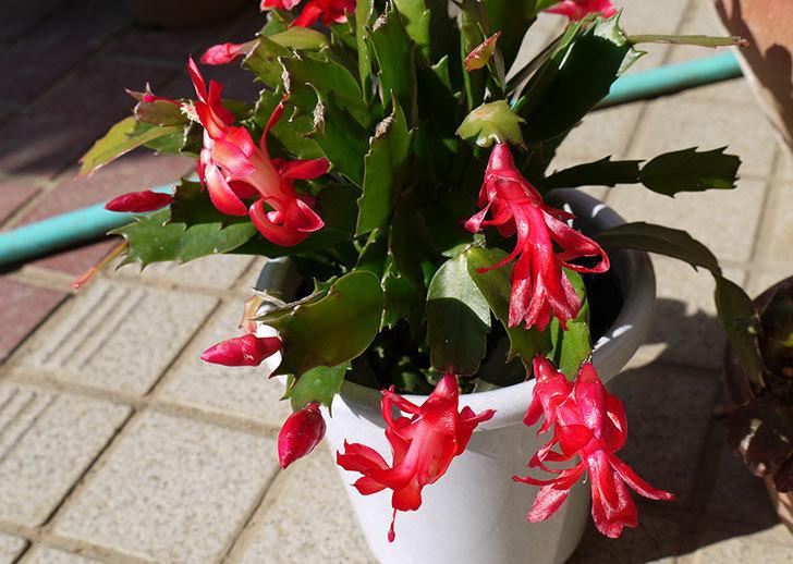 2鉢目のシャコバサボテン(蝦蛄葉サボテン)が更に咲いた3.jpg