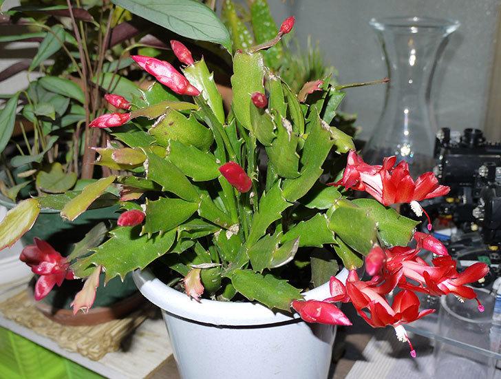 2鉢目のシャコバサボテン(蝦蛄葉サボテン)の花が咲き始めた1.jpg
