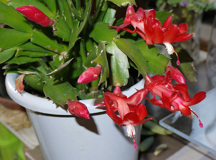 2鉢目のシャコバサボテン(蝦蛄葉サボテン)の花が咲き始めた3.jpg