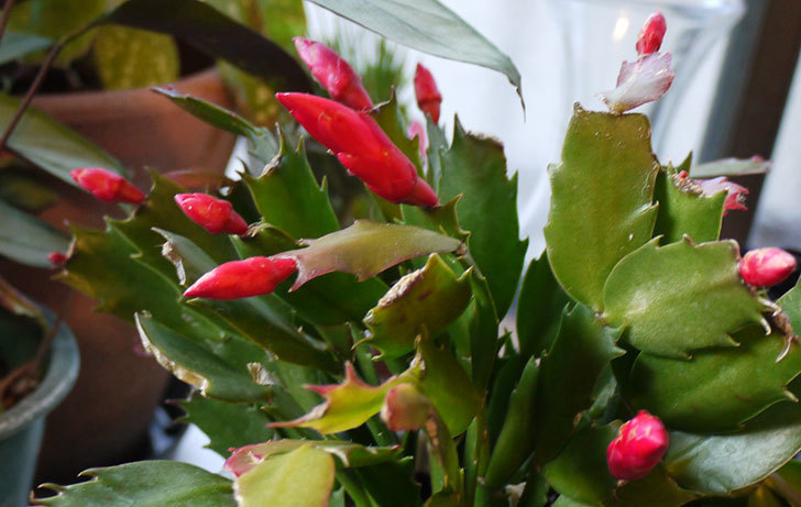 2鉢目のシャコバサボテン(蝦蛄葉サボテン)の花が咲き始めた4.jpg