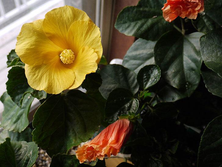 300円で買った2個目のハイビスカスの花が咲いた。2015年-2.jpg