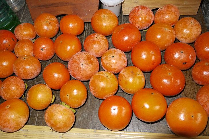 3回目の柿の収穫をした1.jpg