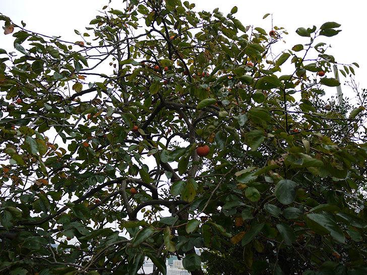3回目の柿の収穫をした2.jpg