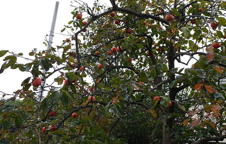 3回目の柿の収穫をした3.jpg