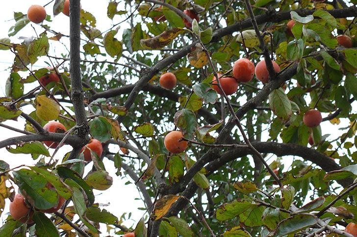 3回目の柿の収穫をした4.jpg