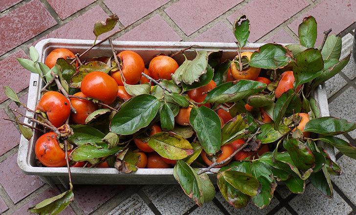 3回目の柿の収穫をした5.jpg