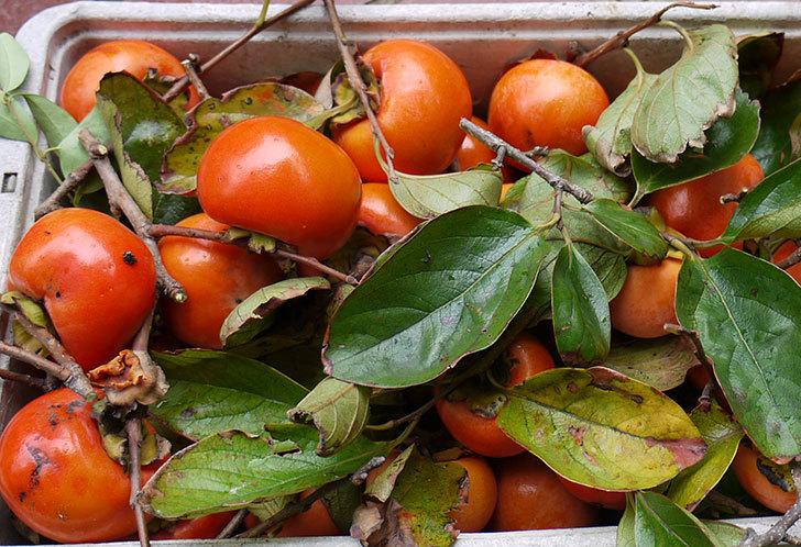 3回目の柿の収穫をした6.jpg