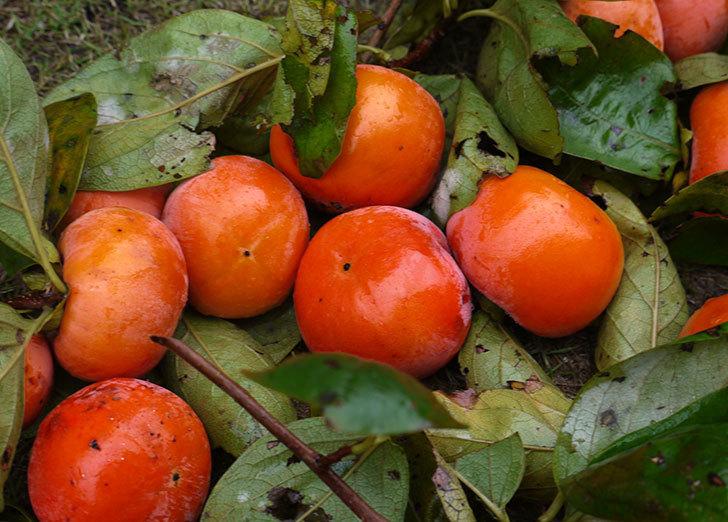 3回目の柿の収穫をした。2015年-1.jpg
