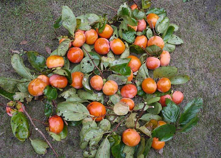 3回目の柿の収穫をした。2015年-2.jpg