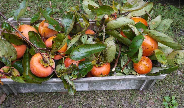3回目の柿の収穫をした。2015年-3.jpg