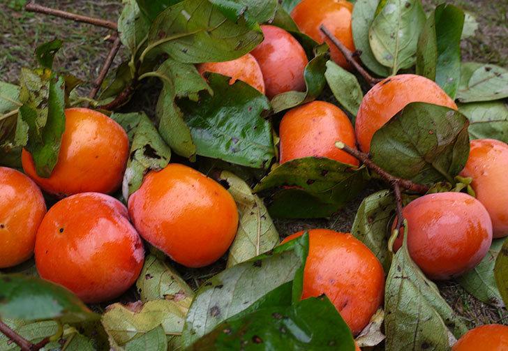 3回目の柿の収穫をした。2015年-4.jpg