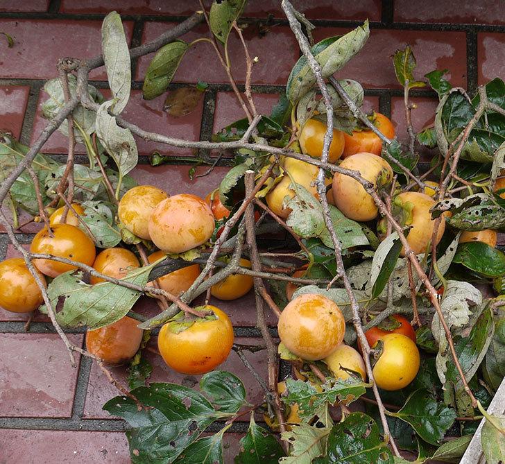 3回目の柿の収穫をした。2016年-1.jpg